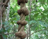 Banisteriopsis Caapi ayahuasca
