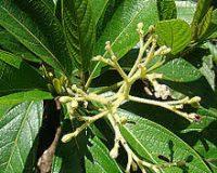 Psicotria viridis