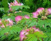 mimosa tenuforia